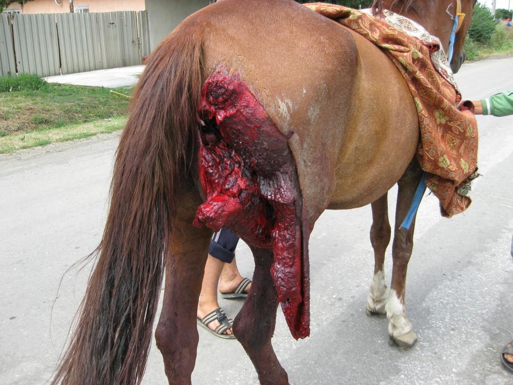 Injured horse in Romania