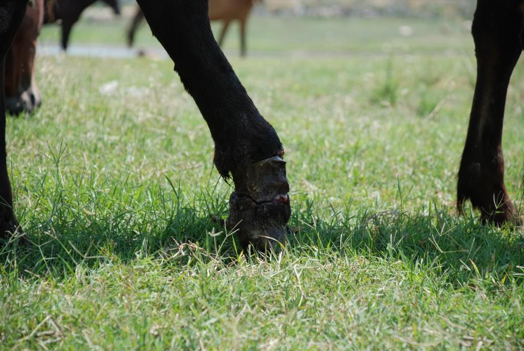 horse_injured5