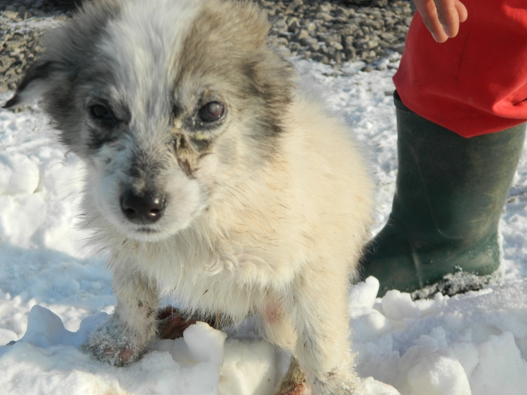 puppy Romania