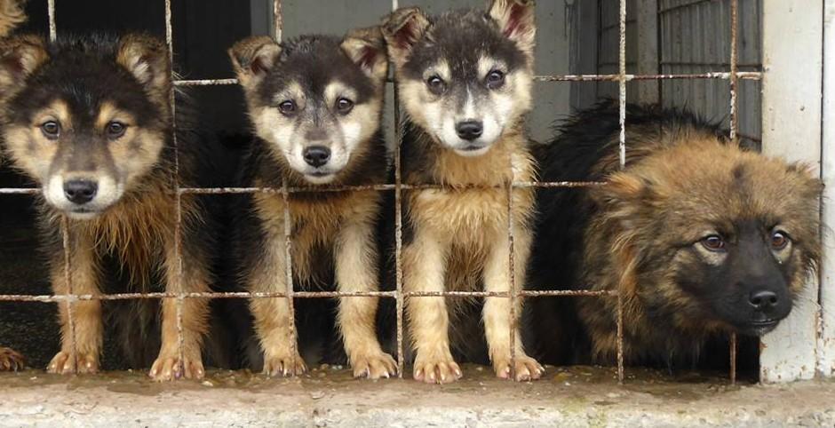 puppies Romania